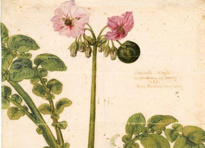 Aardappelplant format affichage